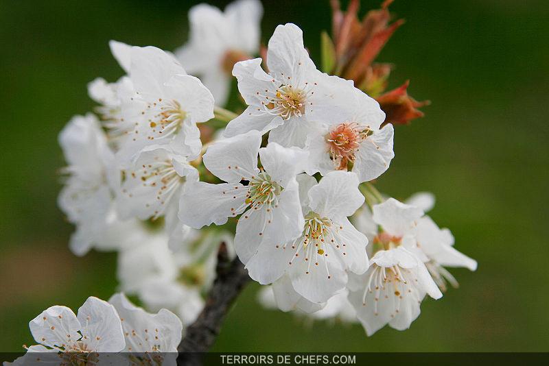 haute normandie cerisiers roses et pommiers blancs. Black Bedroom Furniture Sets. Home Design Ideas