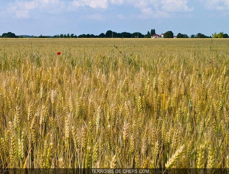 Terroirs de chefs le de france champ de bl le de for Terrain constructible ile de france