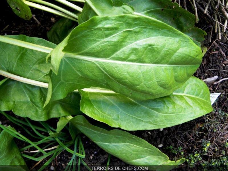 L 39 oseille la touche fraicheur du printemps - Planter de l oseille ...
